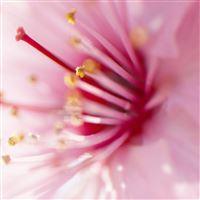 Pink Flowers 10 iPad Air wallpaper