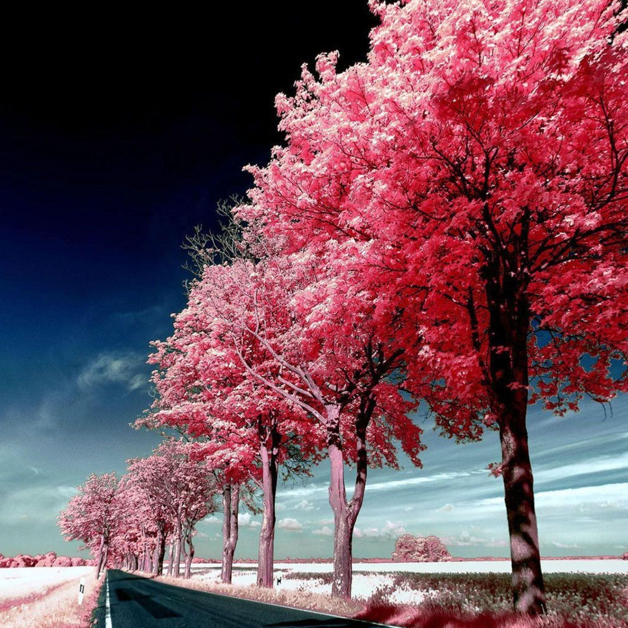 Roadside Pink Trees iPad Air wallpaper