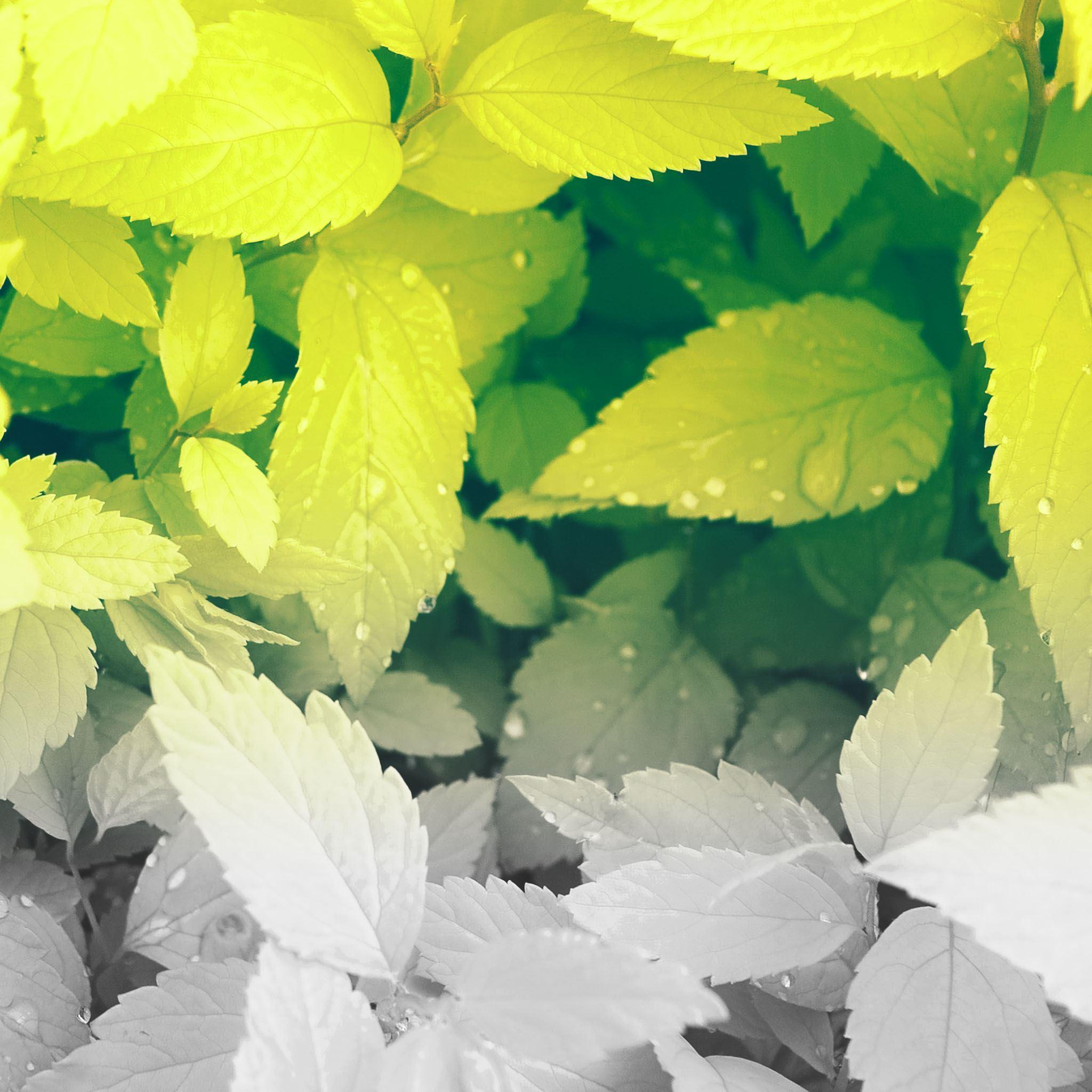 Pure Clean Green Dew Leaves iPad Air wallpaper