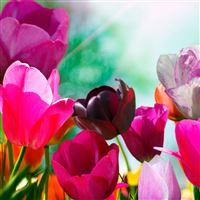 Cyclamen iPad Air wallpaper