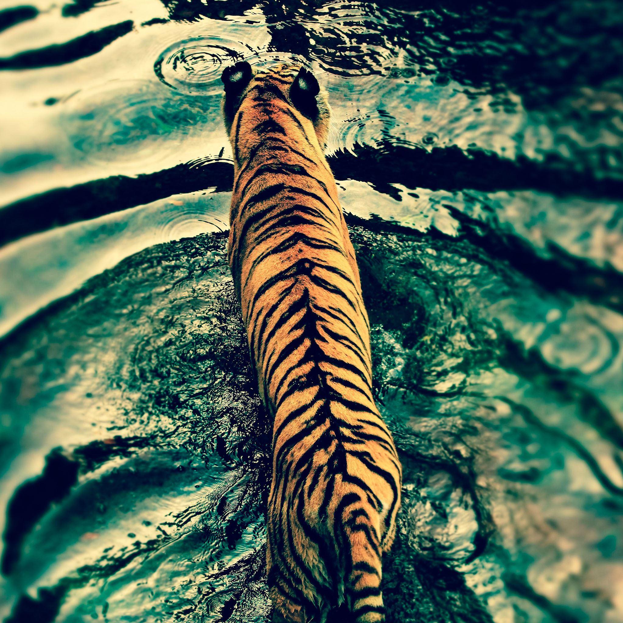 Tiger IPad Air Wallpaper
