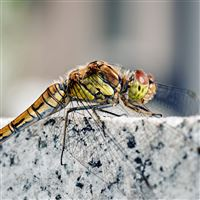 Macro Dragonfly On The Rock iPad Air wallpaper