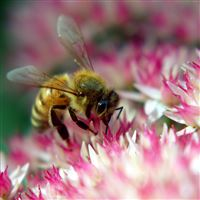 Hard Working Bee On Flower iPad Air wallpaper