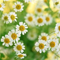 Nature Daisy Field iPad Air wallpaper