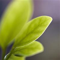 Leaf Bud Macro iPad Air wallpaper