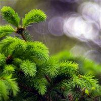 Pine Branch Macro Light Circles  iPad Air wallpaper