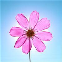 Macro Sunshine Crystal Pink Flower iPad Air wallpaper