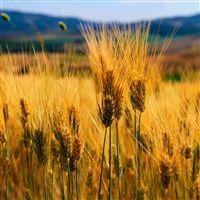 Nature Golden Wheat Corp Field iPad Air wallpaper