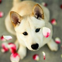 Dog Pet Looking Up Pink Petal iPad Air wallpaper