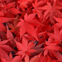 Pure Autumn Red Maple Leaves Overlap iPad wallpaper