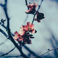 Flower Nostalgia Tree Spring Blossom Nature iPad Air wallpaper