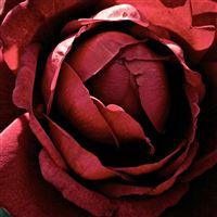 Beautiful Dark Red Rose Macro iPad Air wallpaper