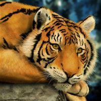 Big Lazy Tiger iPad wallpaper
