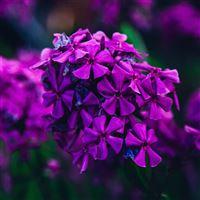 Nature Flower Purple Blossom Beautiful Spring iPad Air wallpaper