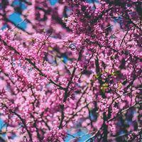 Cherry Tree Flowers Flowering Spring iPad Air wallpaper