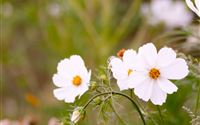 Nature White Daisy Flower Branch iPad Air wallpaper