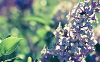 Lilac Bushes In Full Bloom iPad Air wallpaper