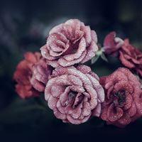 Rose Pink Raindrop Flower Summer Nature Blue iPad Air wallpaper