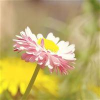 Pure Bright Sunshine Bright Pure Daisy Flower Macro iPad wallpaper