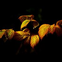 Fall Leaf Dark Nature iPad Air wallpaper