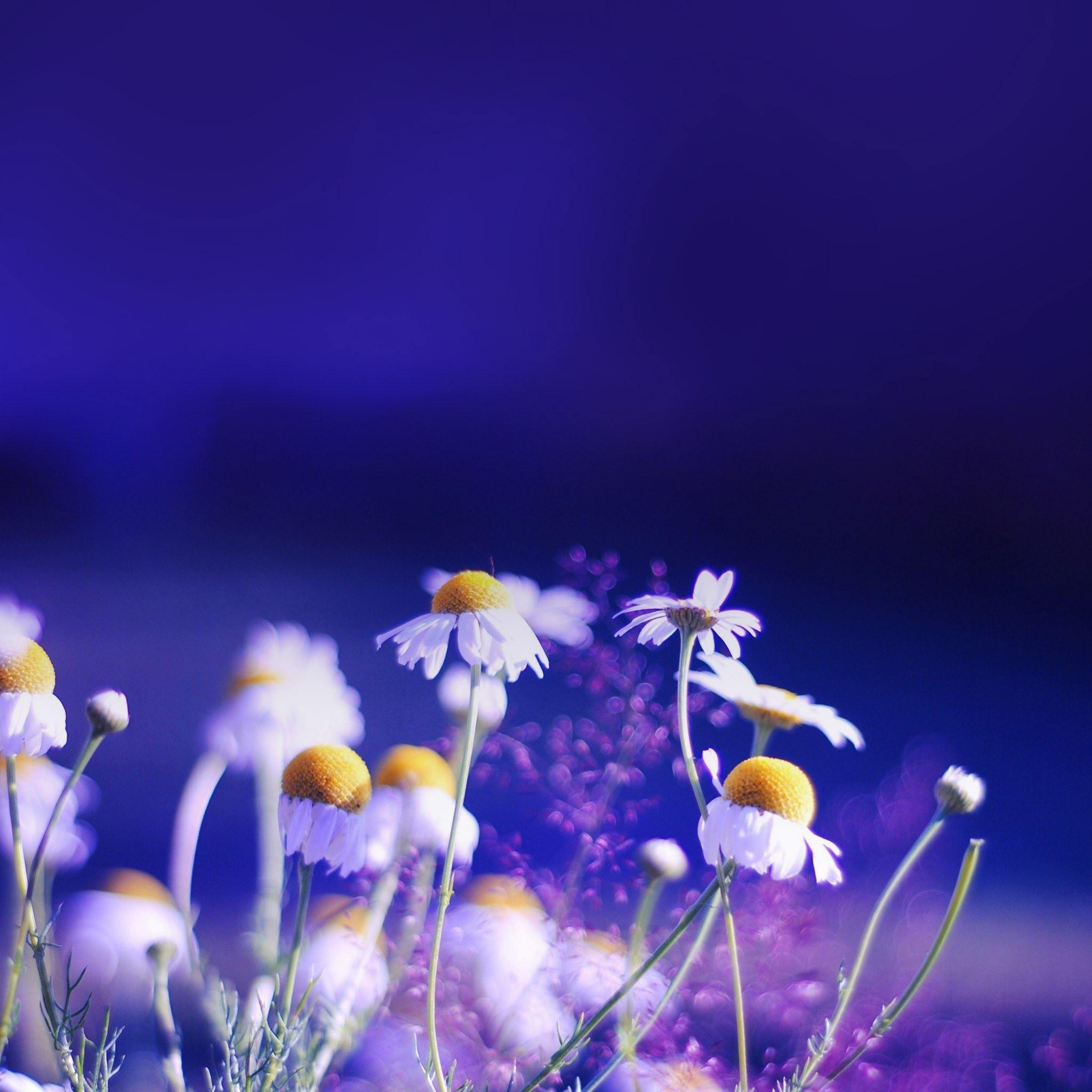 Dreamy Night Wild Daisy Plant Bokeh IPad Air Wallpaper