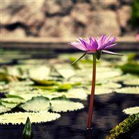 Nature Summer Lotus Lily Flower Duckweed Lake View iPad Air wallpaper