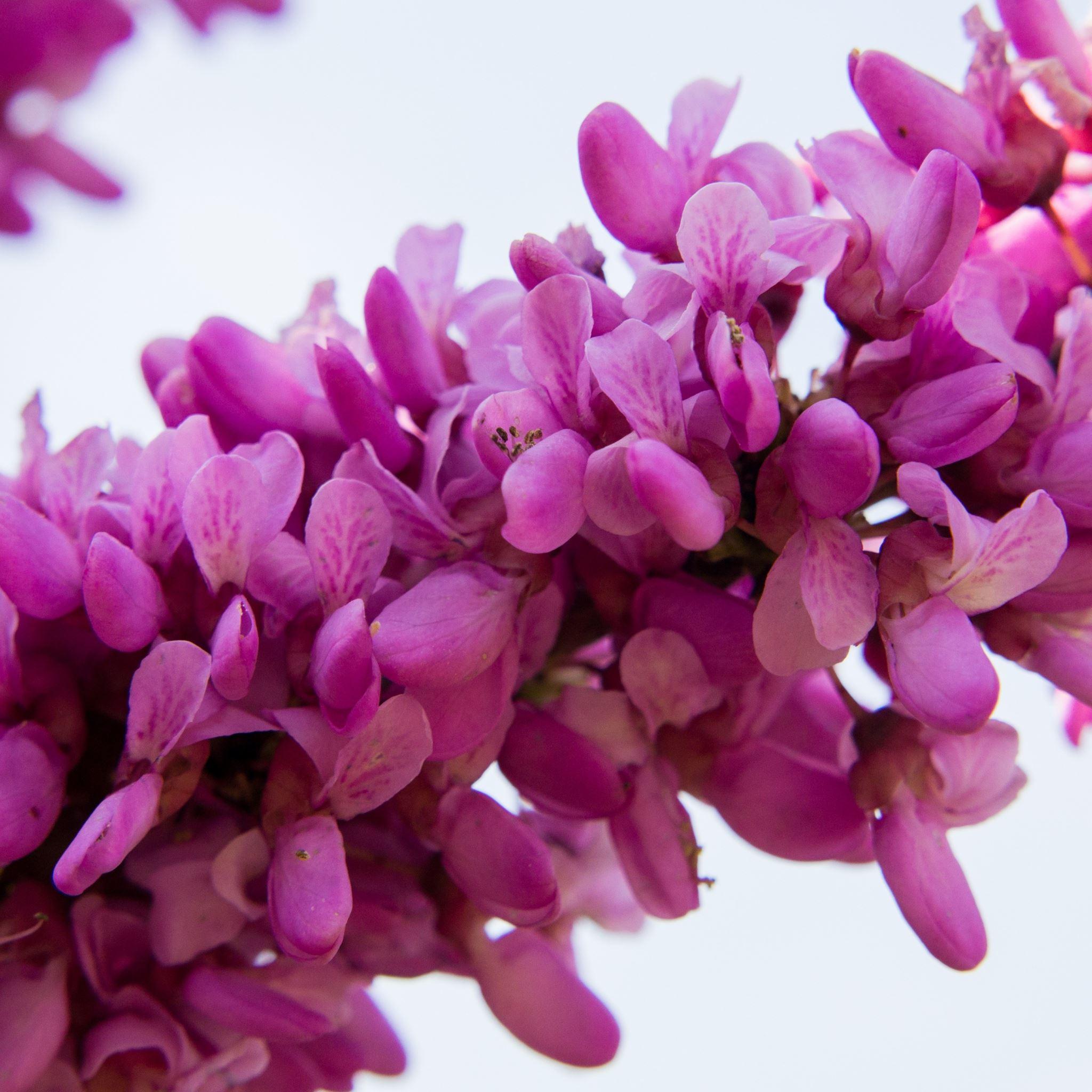 Cercis Siliquastrum Flowers Twig iPad Air wallpaper