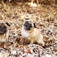 Pug Foliage Dogs Funny iPad wallpaper