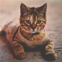 Cat Collar Lying Home iPad wallpaper