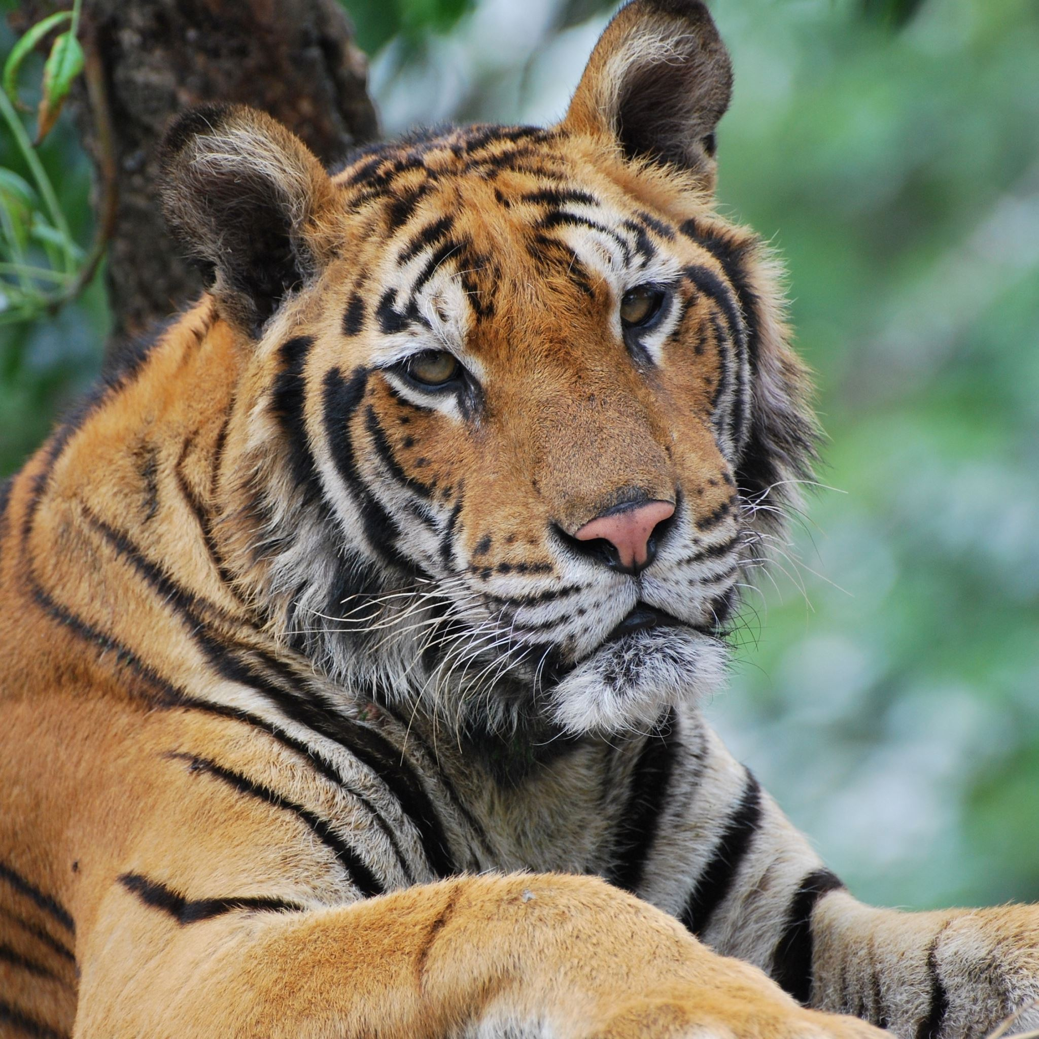 Tiger Predator Face Eyes Sadness iPad Air wallpaper