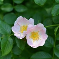 Wild Rose Flower Branch iPad Air wallpaper