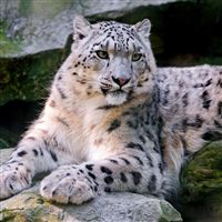 Snow Leopard Big Cat Carnivore Lay iPad Air wallpaper