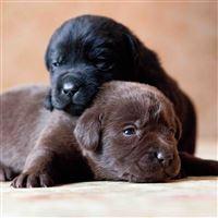 Labrador Retriever Dogs Puppies Couple iPad Air wallpaper