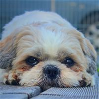 Shih Tzu Dog Muzzle Look Furry iPad Air wallpaper
