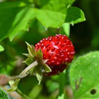 Strawberry Berry Branch Fruit iPad Air wallpaper