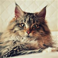 Cat Maine Coon Fluffy Look iPad Air wallpaper