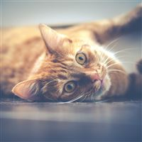 Cat Muzzle Lying Red iPad wallpaper