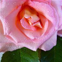 Rose Flower Drops Dew Bud iPad Air wallpaper