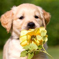Retriever Puppy Petals Flower iPad Air wallpaper