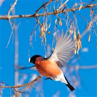 Bullfinch Branch Winter iPad Air wallpaper
