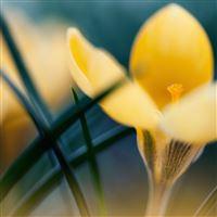 Primroses Crocus Macro Spring iPad Air wallpaper