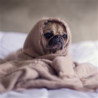 Pug Dog Blanket iPad Air wallpaper
