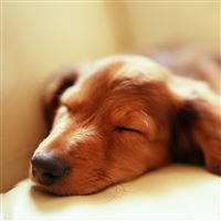 Dog sleep fluffy iPad wallpaper