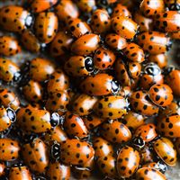 Ladybugs iPad wallpaper