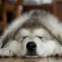 Dog muzzle sleep iPad wallpaper