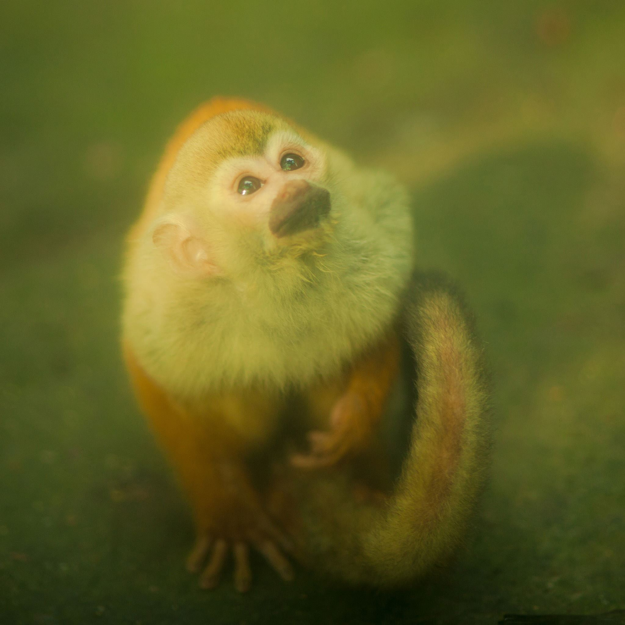Monkey iPad Air wallpaper