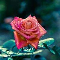 Rose flower bud iPad wallpaper