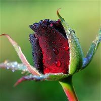 Rose bud flower drops dew iPad wallpaper