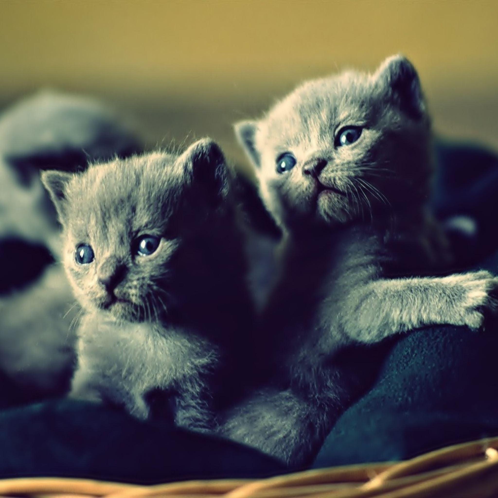Kittens basket cute iPad Air wallpaper