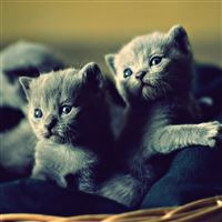 Kittens basket cute iPad Air wallpaper